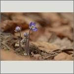 Bild 35 zum Bildarchiv Sonstige Blüten
