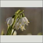 Bild 36 zum Bildarchiv Sonstige Blüten