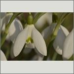 Bild 57 zum Bildarchiv Sonstige Blüten