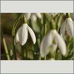Bild 40 zum Bildarchiv Sonstige Blüten