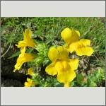 Bild 34 zum Bildarchiv Sonstige Blüten