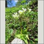 Bild 30 zum Bildarchiv Sonstige Blüten