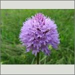 Bild 4 zum Bildarchiv Blüten Orchideen