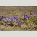 Bild 13 zum Bildarchiv Sonstige Blüten