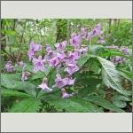 Bild 28 zum Bildarchiv Sonstige Blüten