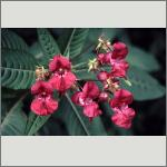 Bild 142 zum Bildarchiv Sonstige Blüten