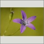 Bild 24 zum Bildarchiv Sonstige Blüten