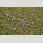 Bild 25 zum Bildarchiv Sonstige Blüten