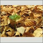Bild 86 zum Bildarchiv Sonstige Pflanzen