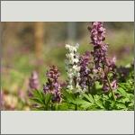 Bild 21 zum Bildarchiv Sonstige Blüten