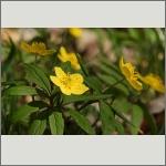 Bild 4 zum Bildarchiv Sonstige Blüten