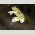 Bild 169 zum Bildarchiv Sonstige Blüten