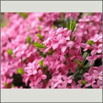 Bild 31 zum Bildarchiv Blüten Gehölze