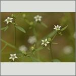 Bild 2 zum Bildarchiv Sonstige Blüten