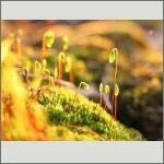 Bild 44 zum Bildarchiv Früchte/Samen