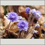 Bild 194 zum Bildarchiv Sonstige Blüten