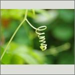 Bild 87 zum Bildarchiv Sonstige Pflanzen