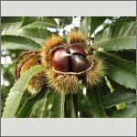 Bild 45 zum Bildarchiv Früchte/Samen