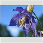 Bild 154 zum Bildarchiv Sonstige Blüten