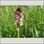 Bild 11 zum Bildarchiv Blüten Orchideen