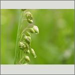 Bild 46 zum Bildarchiv Früchte/Samen