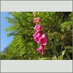 Bild 14 zum Bildarchiv Sonstige Blüten