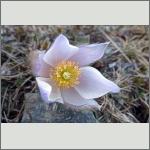 Bild 9 zum Bildarchiv Sonstige Blüten