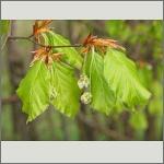 Bild 32 zum Bildarchiv Blüten Gehölze