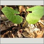 Bild 156 zum Bildarchiv Sonstige Blüten