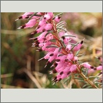 Bild 33 zum Bildarchiv Blüten Gehölze