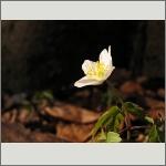 Bild 175 zum Bildarchiv Sonstige Blüten