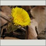 Bild 161 zum Bildarchiv Sonstige Blüten