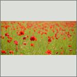 Bild 1 zum Bildarchiv Sonstige Blüten