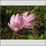 Bild 181 zum Bildarchiv Sonstige Blüten