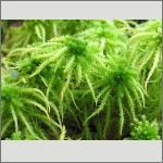 Bild 83 zum Bildarchiv Sonstige Pflanzen