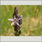 Bild 190 zum Bildarchiv Sonstige Blüten
