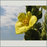 Bild 164 zum Bildarchiv Sonstige Blüten