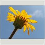 Bild 165 zum Bildarchiv Sonstige Blüten