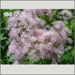 Bild 184 zum Bildarchiv Sonstige Blüten