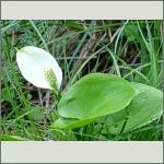 Bild 185 zum Bildarchiv Sonstige Blüten