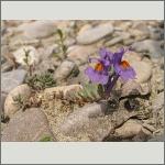 Bild 168 zum Bildarchiv Sonstige Blüten