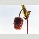 Bild 187 zum Bildarchiv Sonstige Blüten