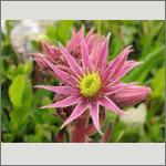 Bild 162 zum Bildarchiv Sonstige Blüten