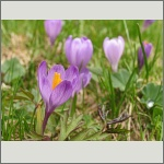 Bild 188 zum Bildarchiv Sonstige Blüten