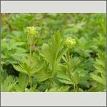 Bild 189 zum Bildarchiv Sonstige Blüten
