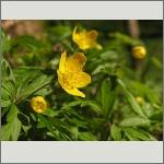 Bild 172 zum Bildarchiv Sonstige Blüten