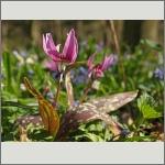 Bild 41 zum Bildarchiv Sonstige Blüten