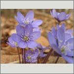 Bild 193 zum Bildarchiv Sonstige Blüten