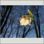 Bild 195 zum Bildarchiv Sonstige Blüten