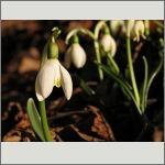Bild 196 zum Bildarchiv Sonstige Blüten